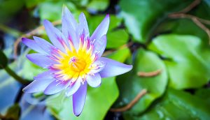 Lotus flower in lilly pond